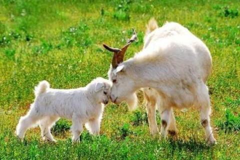 男属羊与什么属相最好,生肖属相,羊